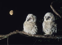 Popular : Two owlets perching on tree branch