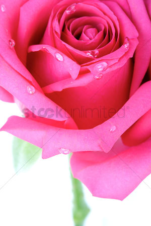 Romantic : Rose on white background - close-up