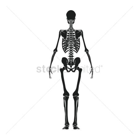 Backview : Back view of human skeleton