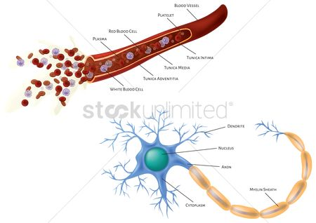 Vessel : Blood vessel and neuron cell