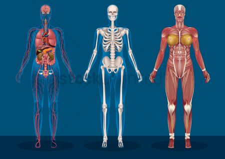 Health : Collection of female human anatomy