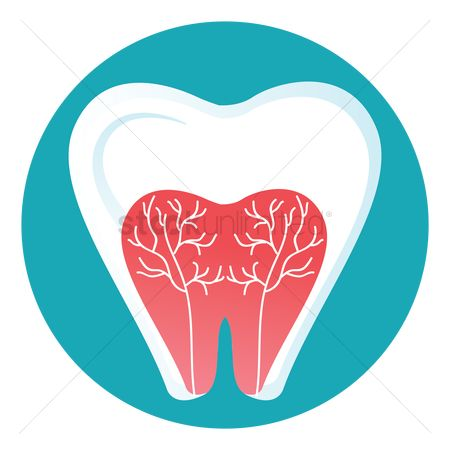Dentist : Tooth anatomy