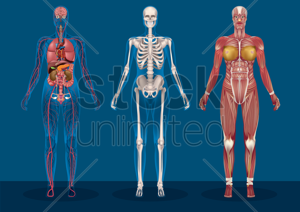 collection of female human anatomy vector graphic
