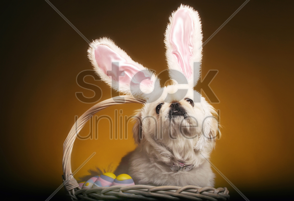 dog with bunny ears sitting inside a basket of easter eggs stock photo
