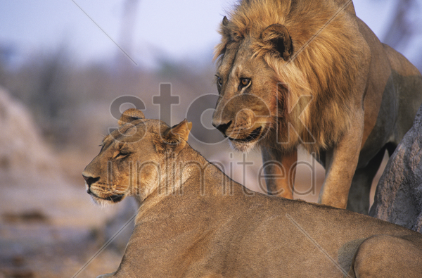 pair of lions resting stock photo