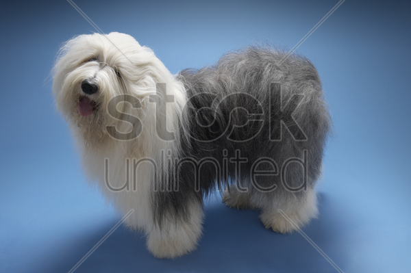 sheepdog on blue background stock photo