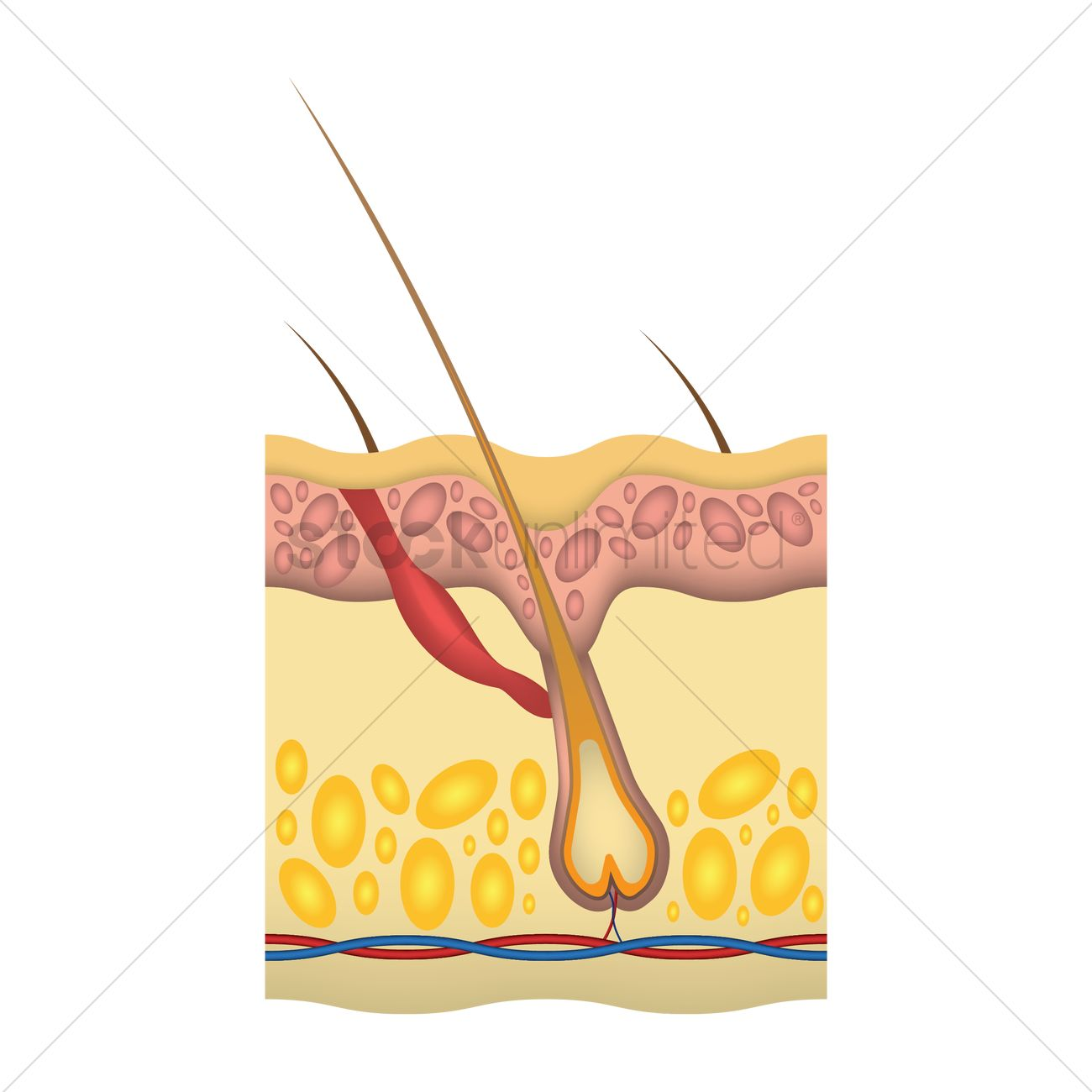 Anatomy Of Skin Layers Vector Image 1759618 Stockunlimited