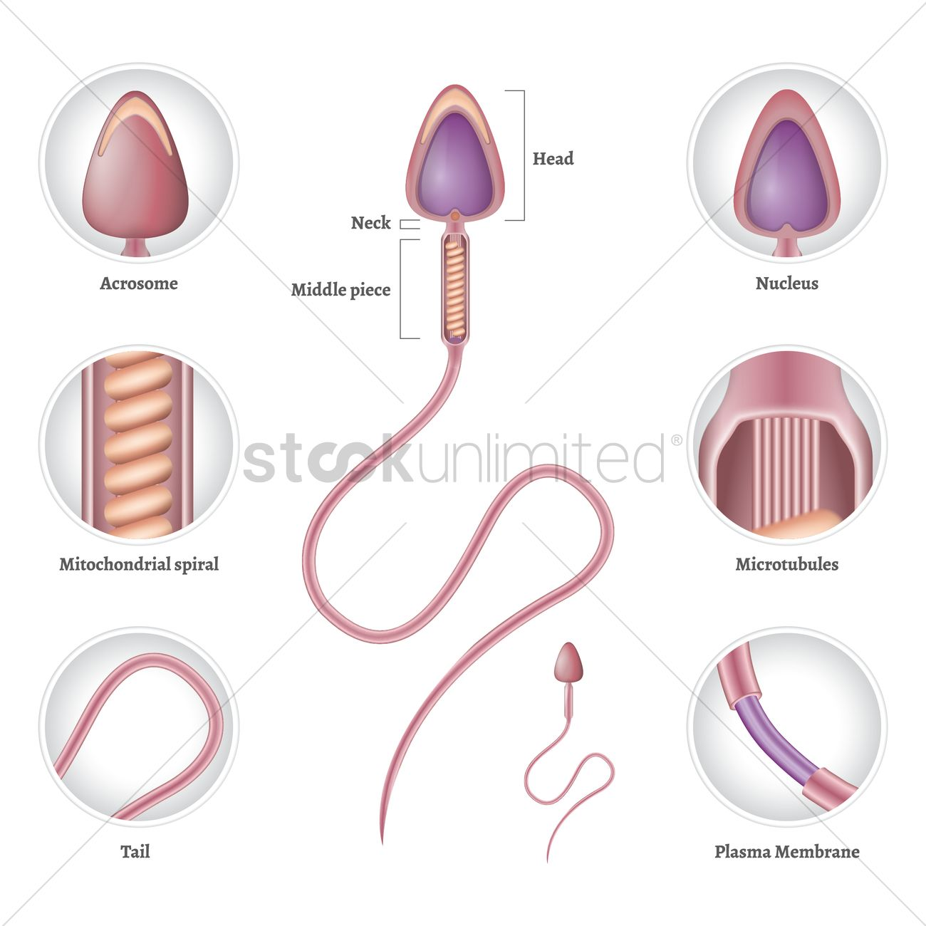 Anatomy Of Sperm Vector Image 1825190 Stockunlimited