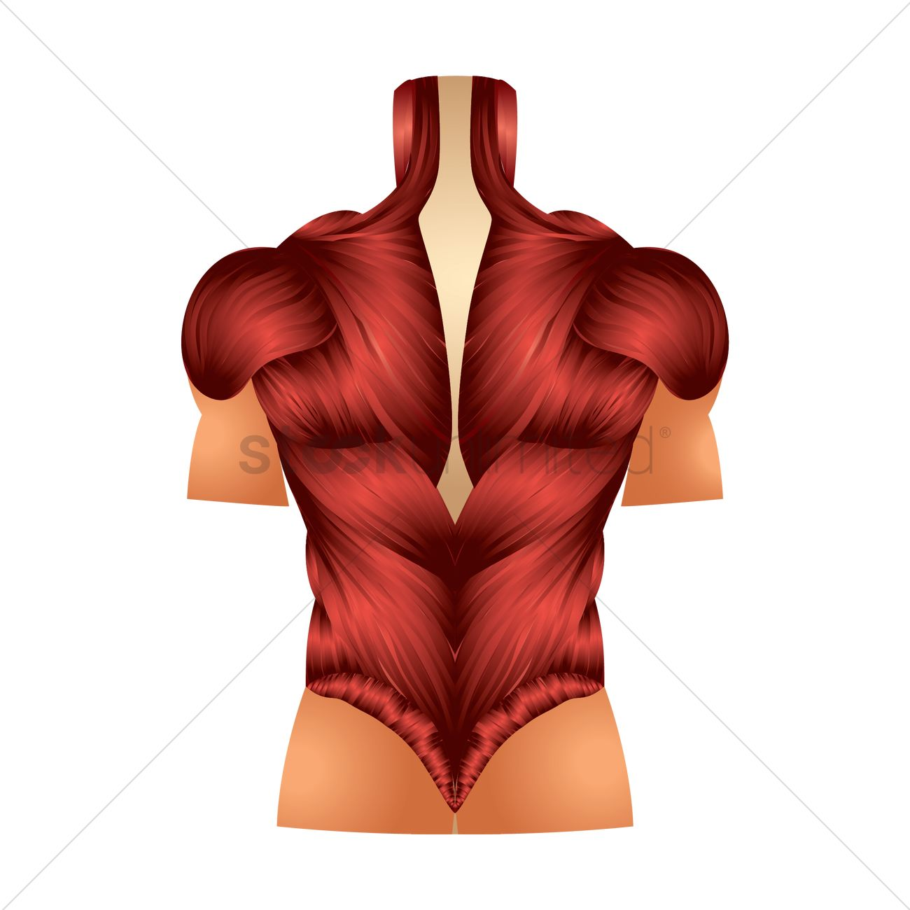 Back Muscles Vector Image 1866274 Stockunlimited