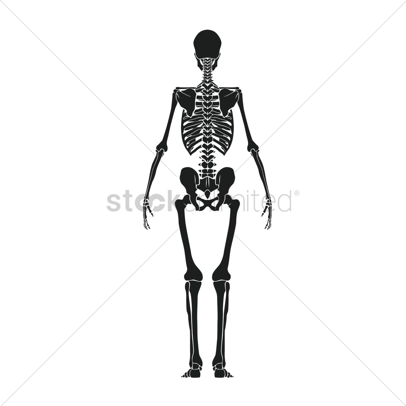Back View Of Human Skeleton Vector Image 1516126 Stockunlimited