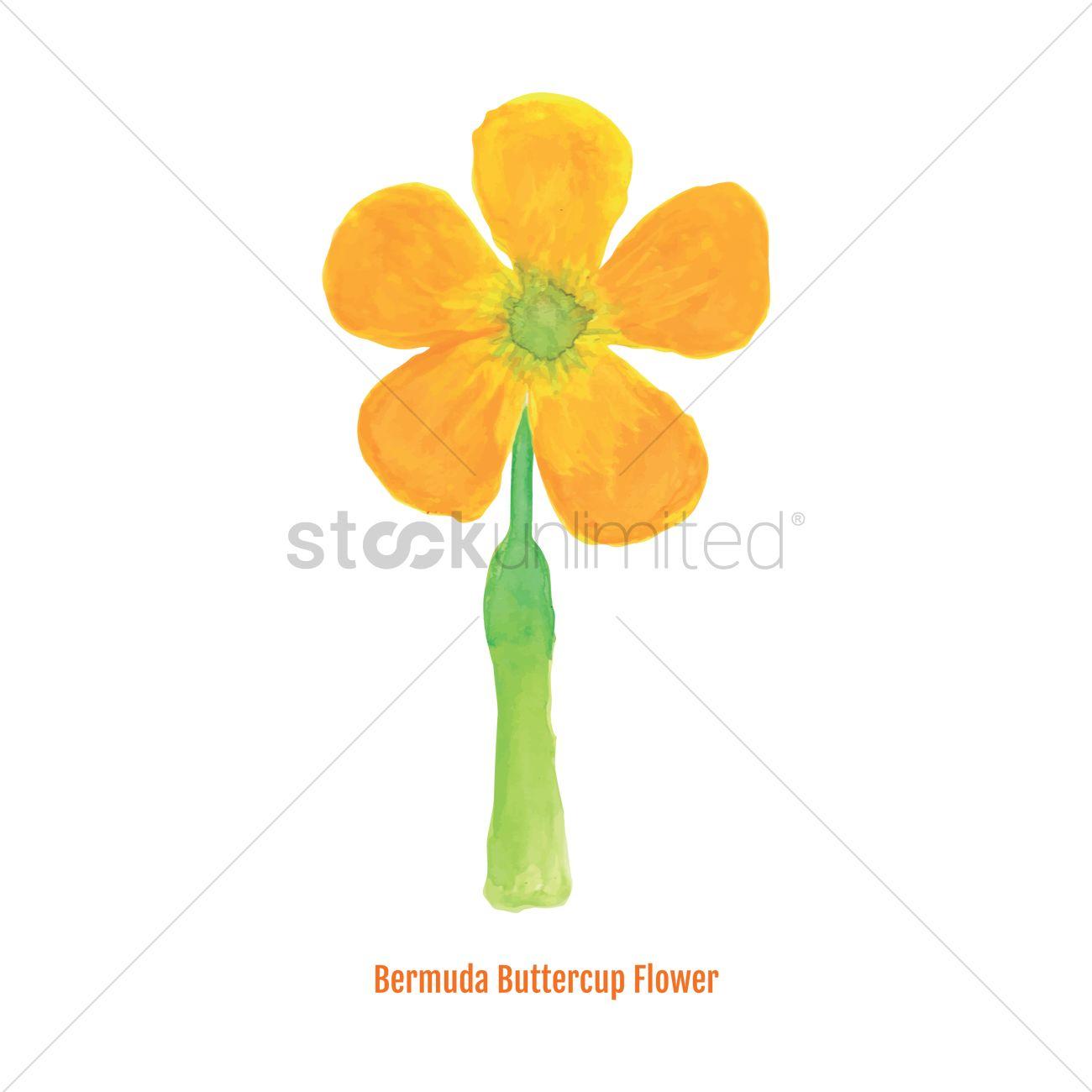 3cb7287e5296e Free Bermuda buttercup flower Vector Image - 1606418 | StockUnlimited
