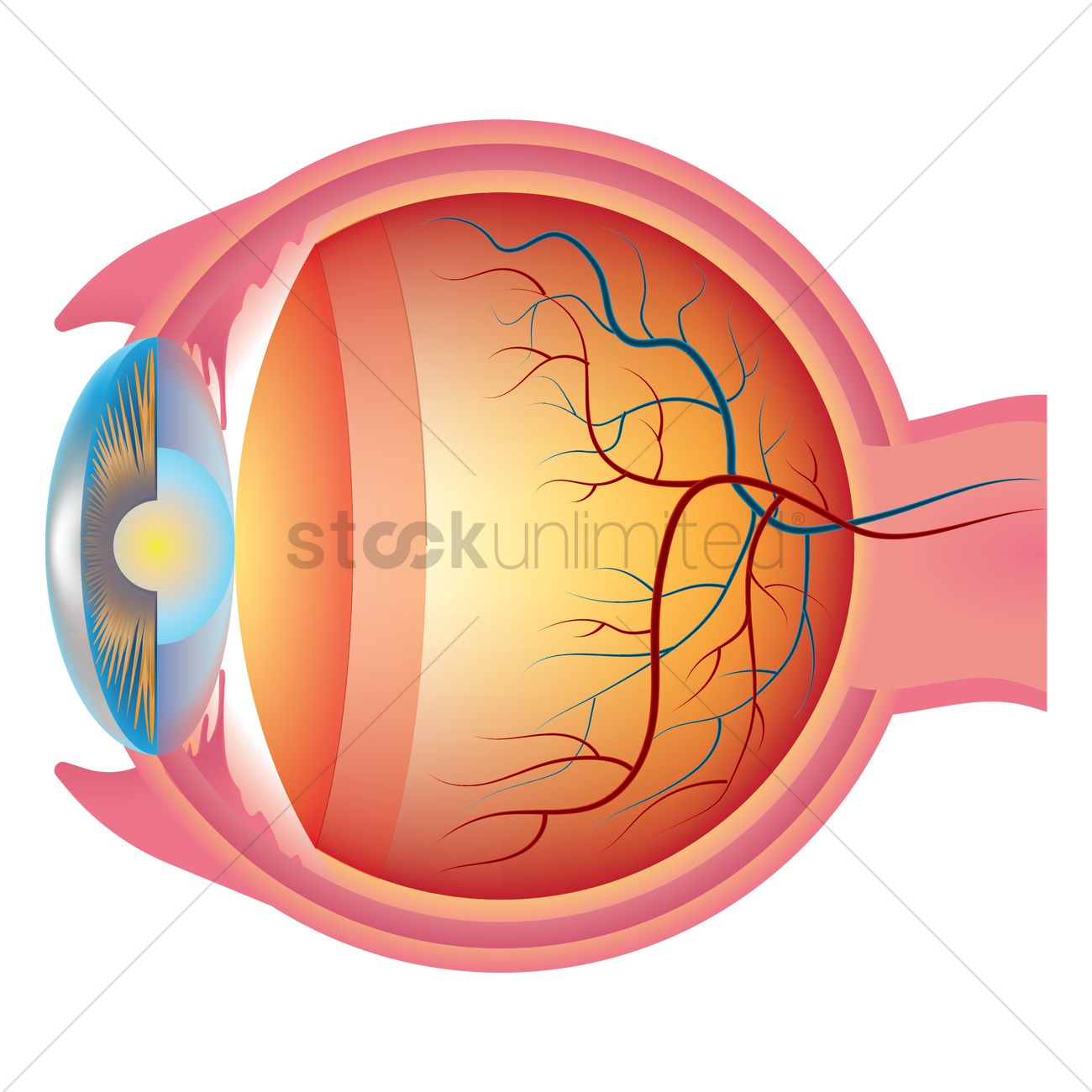 Eyeball anatomy Vector Image - 1866010 | StockUnlimited