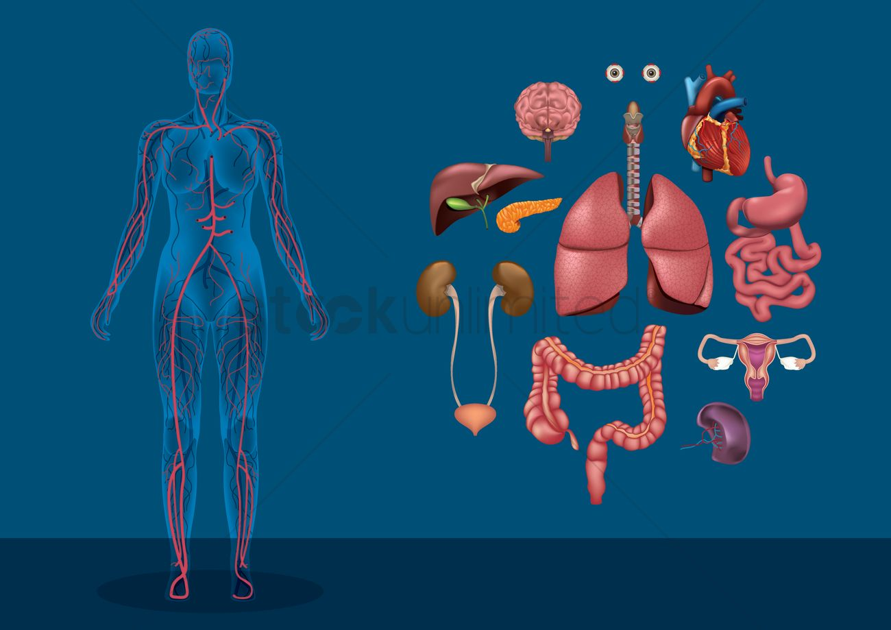 Female Human Body With Organs Vector Image 1590170 Stockunlimited