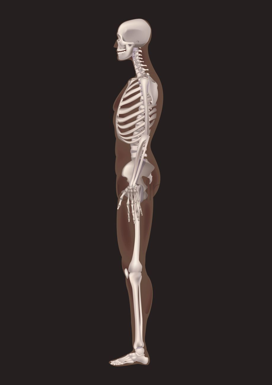 Human Skeleton Side View Vector Image 1585226 Stockunlimited