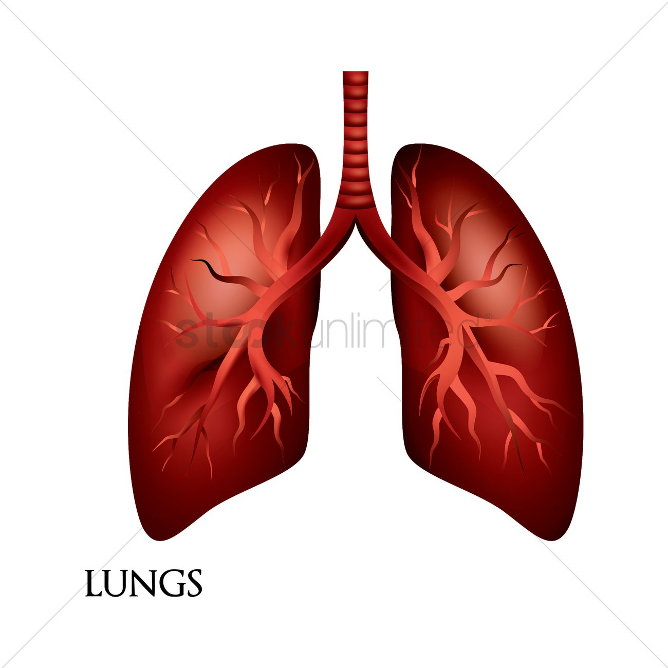Lungs Vector Image - 1807890 | StockUnlimited