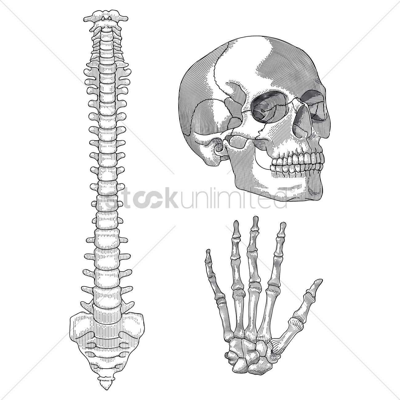 Set Of Human Skeleton Parts Vector Image 1807694 Stockunlimited
