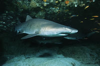 Aliwal shoal indian ocean south africa sand tiger shark  carcharias taurus  in cave