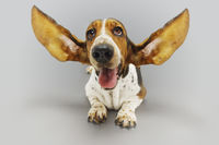 Basset hound lying down ears extended