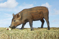 Brown pig sniffing food on hay against sky background side view  digital composite