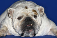 Bulldog lying down close-up