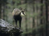 Chamois balancing on rock in forest