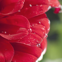 Close-up of dew drops on a red daisy