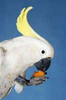 Cockatoo eating on blue background side view