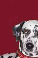 Dalmatian looking up close-up
