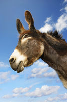Donkey s head against blue sky side view