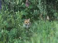 Fox cub standing by bushes