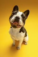 Popular : French bulldog on yellow background