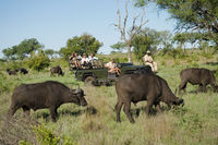 Herd of african buffaloes  syncerus caffer  tourists in jeep in background