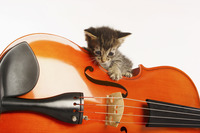 Kitten playing with violin