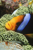 Orange-fin anemonefish sheltering in anemone