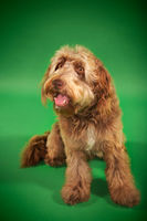 Otterhound sitting