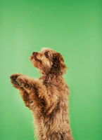 Otterhound standing on hind legs side view