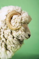 Ram on green background side view of head