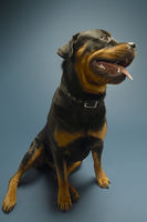 Rottweiler on blue background