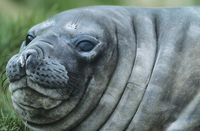 Seal close-up of head