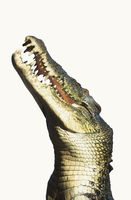 Side view of crocodile over white background