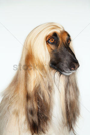 Dogs : Afghan hound sitting close-up