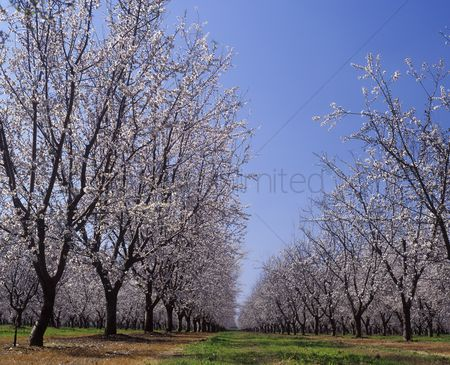Spring : Almond orchard in blossom legrand  merced county california