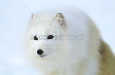 Alert : Arctic fox in snow close-up