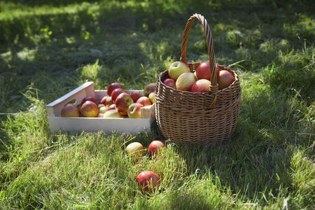 Fruit : Basket and crate of apples on grass