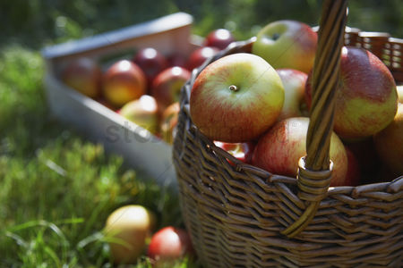 Grass : Basket and crate of apples on grass