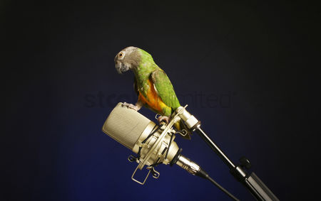 Black background : Bird standing on a microphone