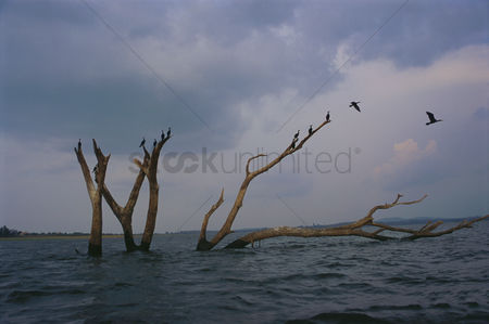 Large group of animals : Birds flying over a lake during flood  ranganthittu bird sanctuary  mandya district  karnataka  india