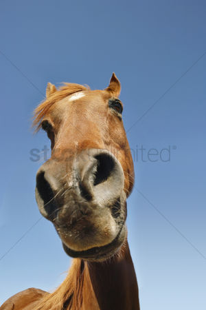 Animal head : Brown horse against clear sky low angle view close-up of snout