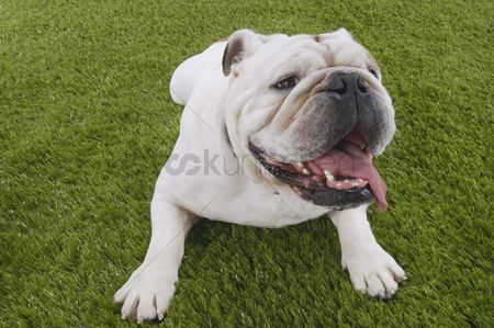 Dogs : Bulldog lying in grass with head up