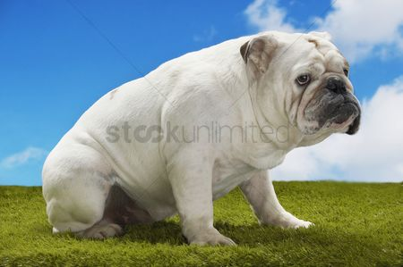 Dogs : Bulldog sitting